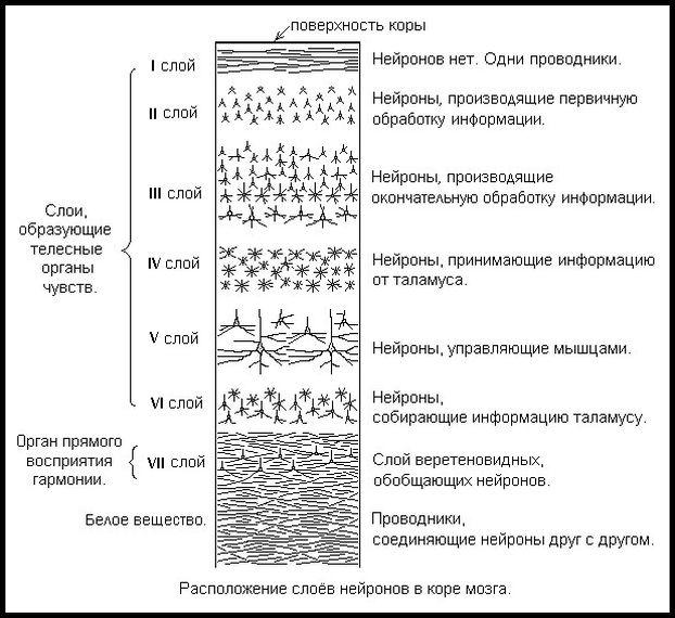 расположение слоев нейронов в коре мозга