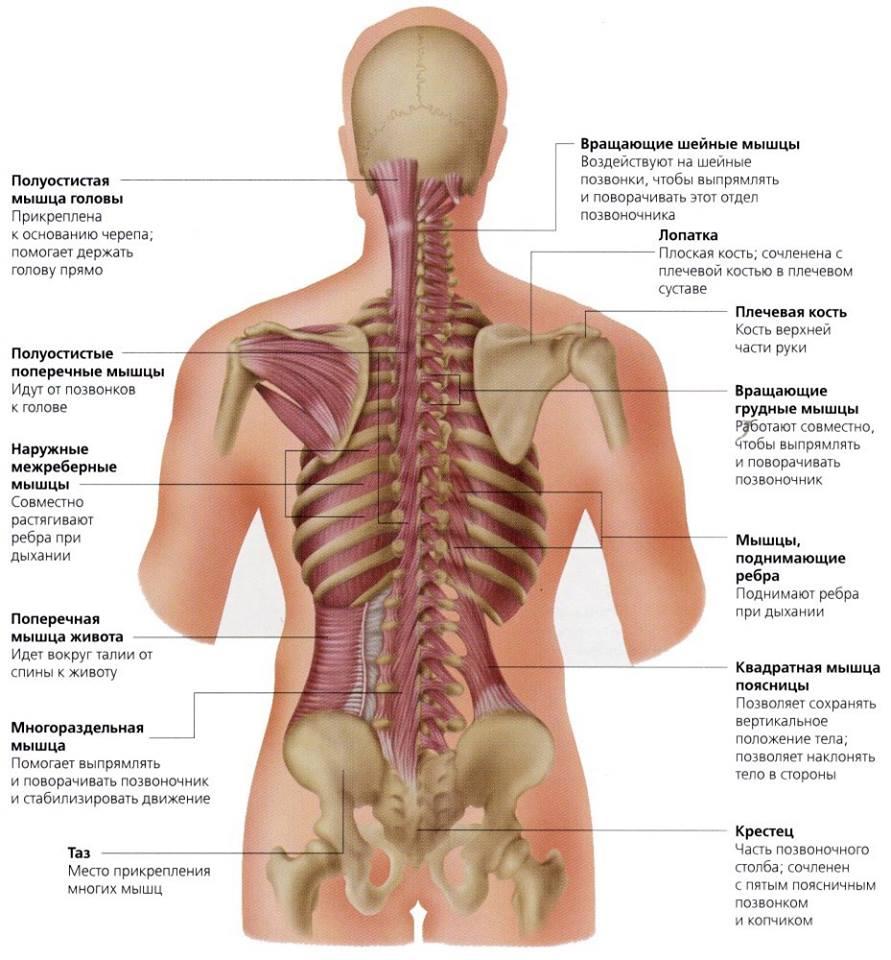 Глубoкиe мускулы спины