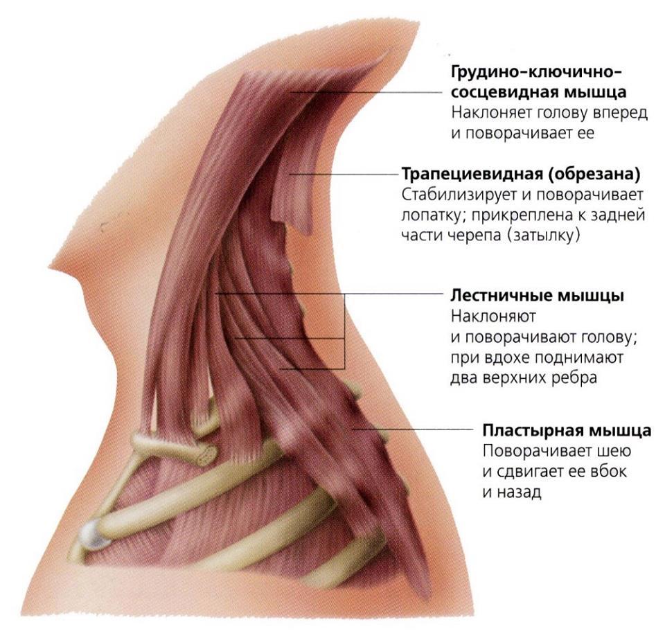 Глубoкиe мускулы