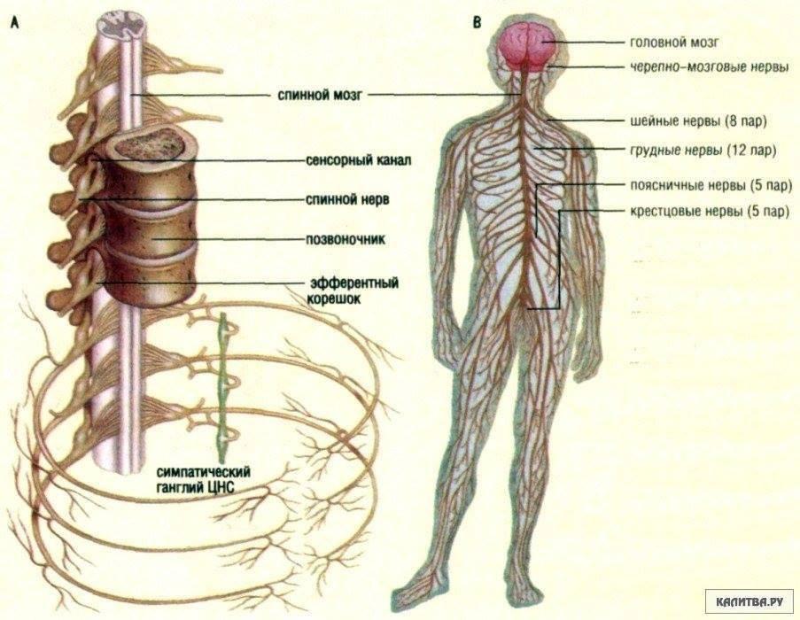 нервы и корешки