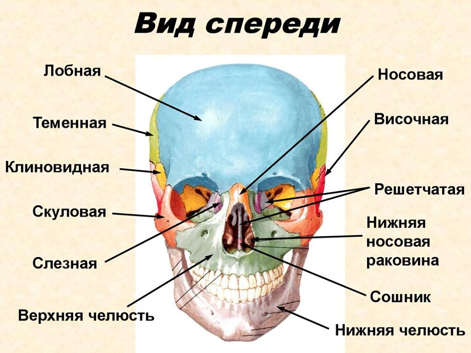 Скелет черепа человека фото с описанием костей