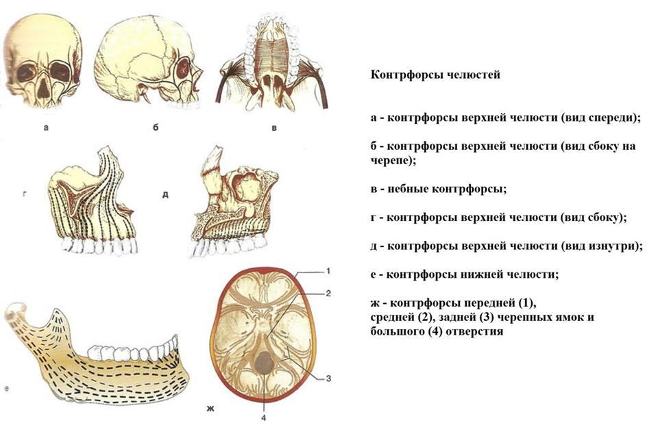 контрфорсы челюстей