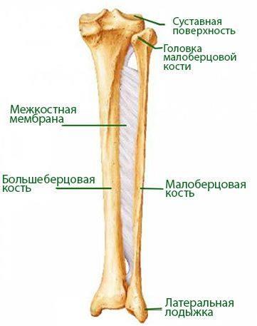 малоберцовая кость